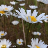 Day 10 - Oxeye Daisies tonight at Whelford Pools Nature Reserve