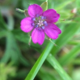 Day 2 - The art of noticing: Tiny pink flower hidden in the grass