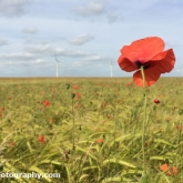 Day 18 - Barley field speckled with poppies