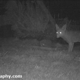 Fox and Hedgehog in feeding in the garden