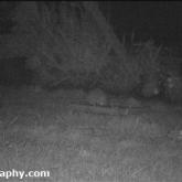 Hedgehog in feeding in the garden