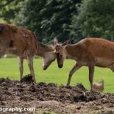 Day 12 - Longleat Safari Park - Red Deer