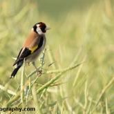 Day 15 - Goldfinch in an Oilseed Rape Field