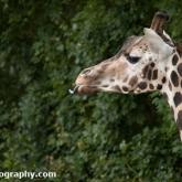 Day 12 - Longleat Safari Park - Rothschild's Giraffe