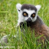 Day 12 - Longleat Safari Park - Ring-tailed Lemur