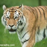 Day 12 - Longleat Safari Park - Tiger