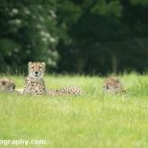Day 12 - Longleat Safari Park - Cheetah