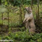 Day 12 - Longleat Safari Park - Prairie Dog