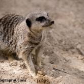Day 12 - Longleat Safari Park - Meerkat
