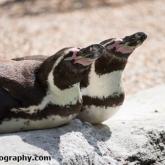 Day 12 - Longleat Safari Park - Humboldt Penguin