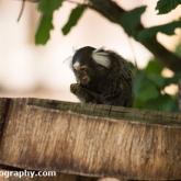 Day 12 - Longleat Safari Park - Common Marmoset