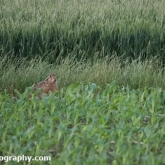 Day 15 - Brown Hare