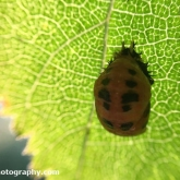 Day 19 - Emerging Ladybird