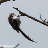 Day 24 - Long-tailed Tit Fledgling