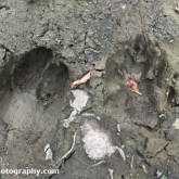 Day 26 - Roe Deer and Badger footprints