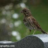 Day 7 - Bampton Cemetery Oxfordshire - Song Thrush