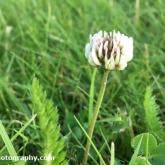 Day 8 - Plantlife Wild Flower Hunt - White clover