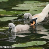Day 10 - By Brook - Mute Swan and Cygnets