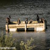 Day 6 - Whelford Pools Nature Reserve - Cormorants