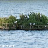 Day 6 - Whelford Pools Nature Reserve - Black-headed Gulls