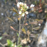 Day 8 - Plantlife Wild Flower Hunt - Shepherd's Purse