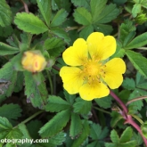 Day 8 - Plantlife Wild Flower Hunt - Creeping buttercup