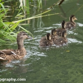 Day 10 - By Brook - Mallard and ducklings