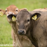Day 10 - By Brook - Cows