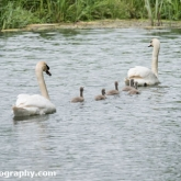 Day 10 - By Brook - Mute Swans and Cygnets
