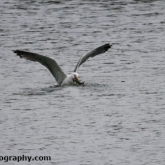 Whelford Pools Nature Reserve - Lesser black backed gull with a crayfish