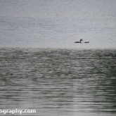 Whelford Pools Nature Reserve - Great crested grebe and 3 young