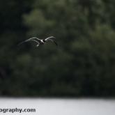 Whelford Pools Nature Reserve - Common Tern