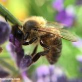 Honeybee (Apis mllifera)