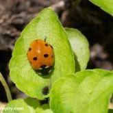 7-spot ladybird (Coccinella septempunctata)
