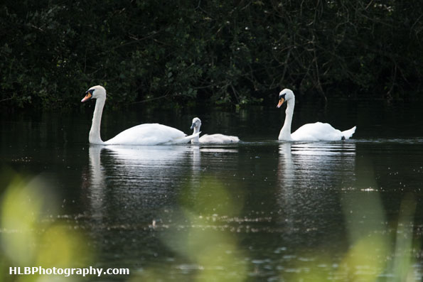 Wildlife Trusts  Lower Moor Farm - Mute Swans and cygnet