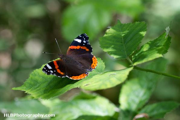 Wildlife Trusts  Lower Moor Farm - Red Admiral