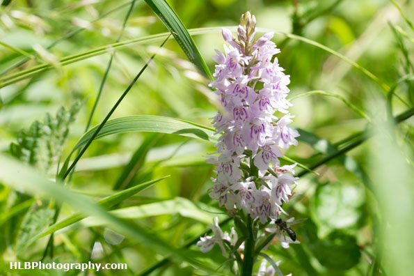Wildlife Trusts  Lower Moor Farm - Common spotted-orchid