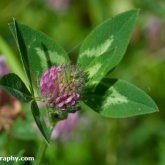 Wildlife Trusts  Lower Moor Farm - Red clover
