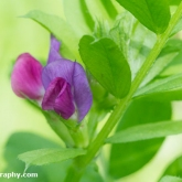 Wildlife Trusts  Lower Moor Farm - Bush vetch