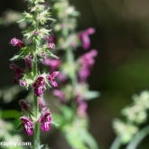 Wildlife Trusts  Lower Moor Farm - Hedge Woundwort