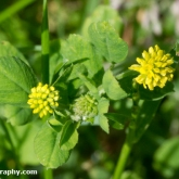 Wildlife Trusts  Lower Moor Farm - Black medick