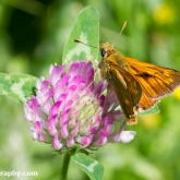 Wildlife Trusts  Lower Moor Farm - Large skipper