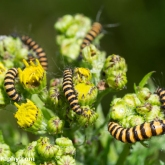Wildlife Trusts  Lower Moor Farm - Cinnabar moth caterpillar