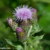 Wildlife Trusts  Lower Moor Farm - Creeping thistle