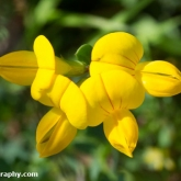 Wildlife Trusts  Lower Moor Farm - Common Bird's-foot-trefoil