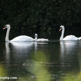 Wildlife Trusts  Lower Moor Farm - Mute Swans and cygnet