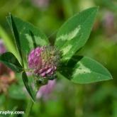 Wildlife Trusts  Lower Moor Farm - Red clover