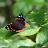 Wildlife Trusts  Lower Moor Farm - Red Admiral