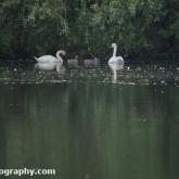 Lower Moor Farm Nature Reserve - Mute Swan