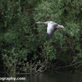 Lower Moor Farm Nature Reserve - Greylag Goose